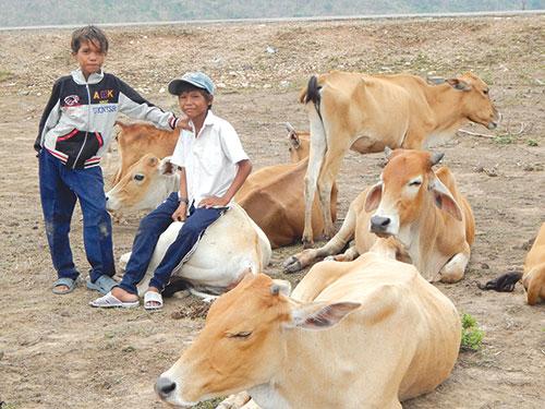 Cần và Thủ với nghề chăn bò thuê.